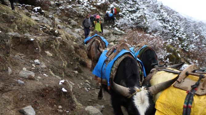 ネパール タンボチェ 牛