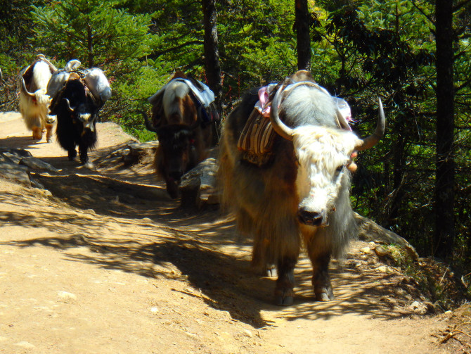 ネパール ナムチェ 牛
