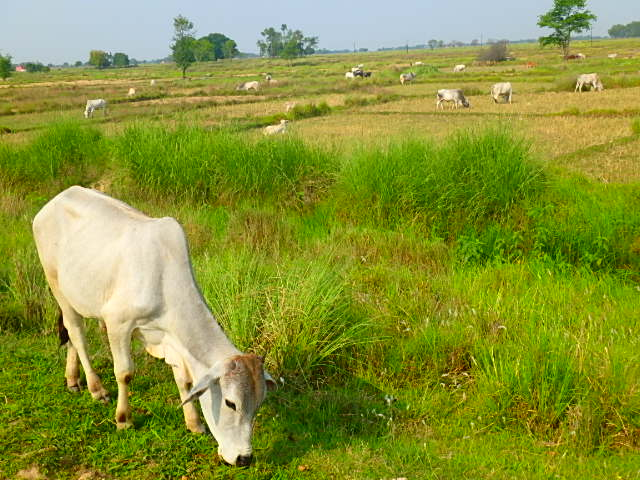 ネパール ルンビニ 牛
