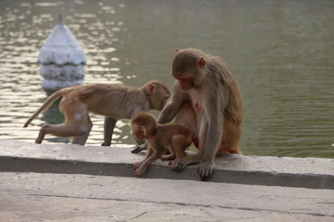 インド アグラ 猿