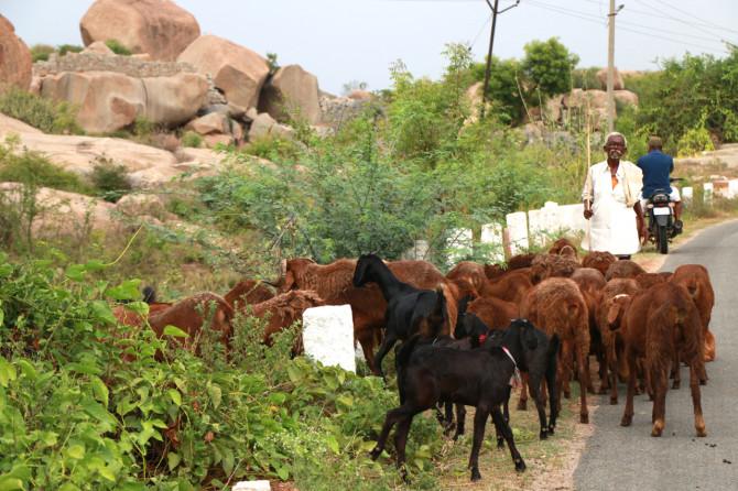 インド ハンピ 山羊使い