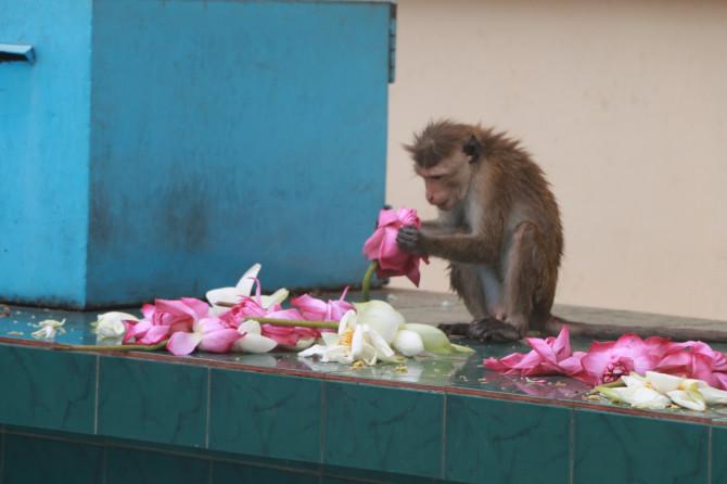 スリランカ ダンブッラ 猿①