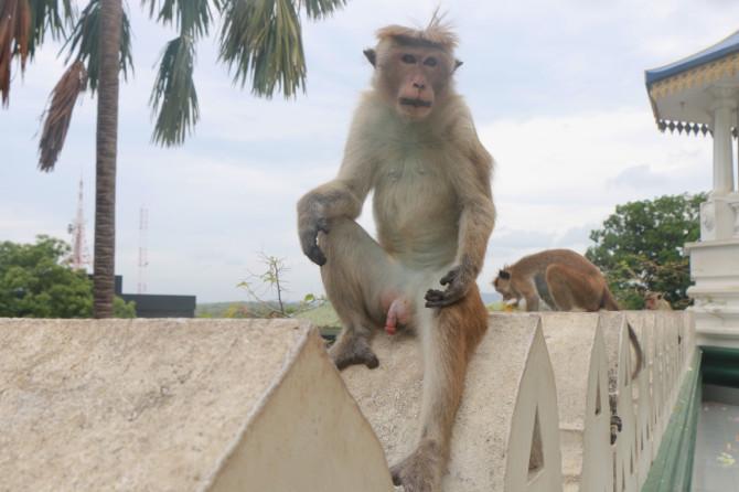 スリランカ ダンブッラ 猿②
