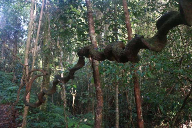 スリランカ ラトゥナプラ 木