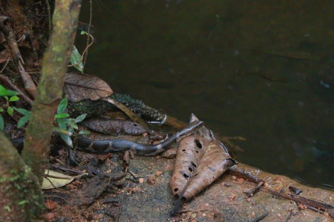 スリランカ ラトゥナプラ 蛇②