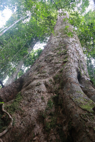 スリランカ ラトゥナプラ 大木②