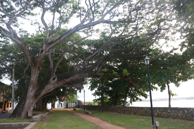 スリランカ ゴール 木
