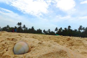 インド ゴア 貝
