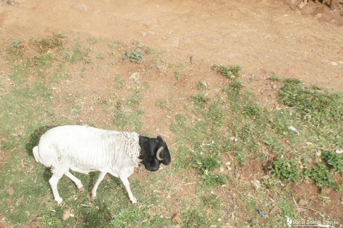 コンソにいたヤギ