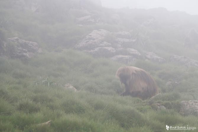 シミエン国立公園のゲダラヒヒ