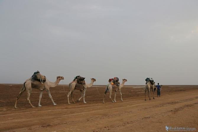 ダナキルにある塩の採掘場にいたラクダ