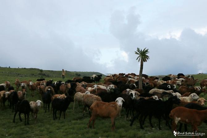 シミエン国立公園の羊