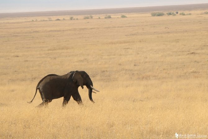 ンゴロンゴロ自然保護区のゾウ