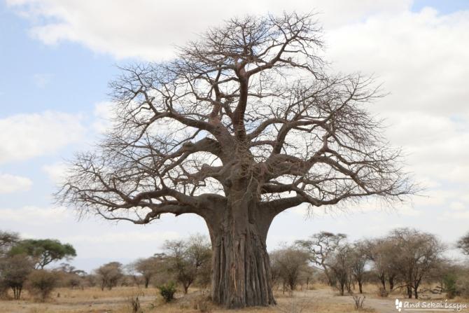 タランギーレ国立公園のバオバブの木
