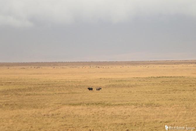 ンゴロンゴロ自然保護区のサイ