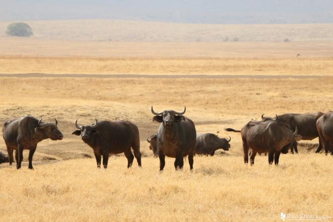 ンゴロンゴロ自然保護区のバッファロー