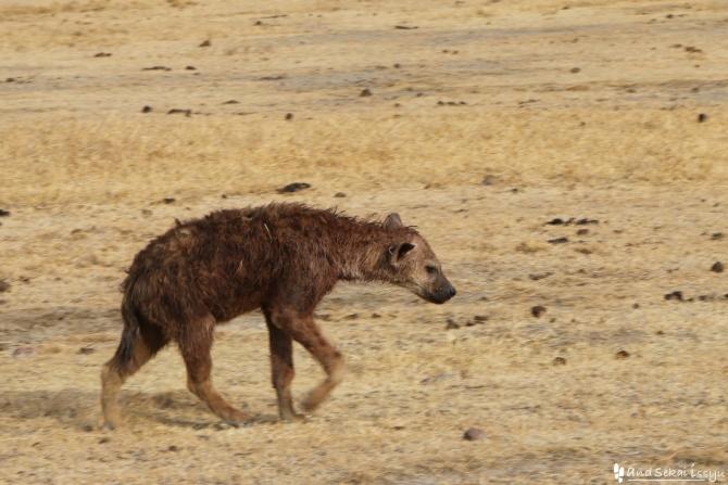 ンゴロンゴロ自然保護区のハイエナ