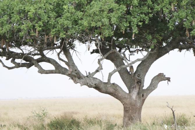 セレンゲティ国立公園の木登りヒョウ
