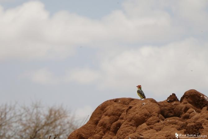タランギーレ国立公園の鳥