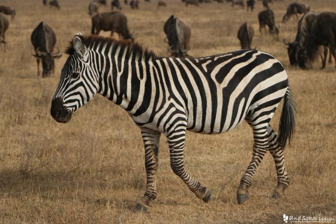 ンゴロンゴロ自然保護区のシマウマ