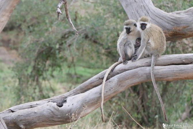 セレンゲティ国立公園の猿