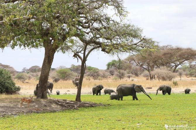 タランギーレ国立公園のゾウ