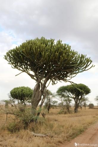 セレンゲティ国立公園の木