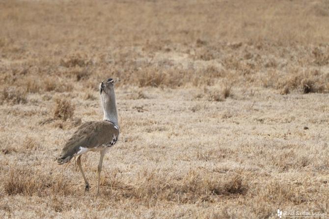 ンゴロンゴロ自然保護区の鳥