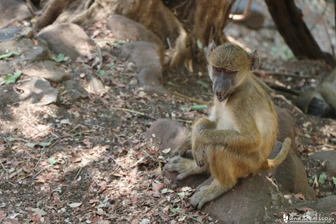 ビクトリアの滝(ザンビア)のサル