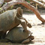 ガラパゴス諸島のイザベラ島|交尾が凄いゾウガメ保護センターとウミイグアナとのシュノーケリング!!