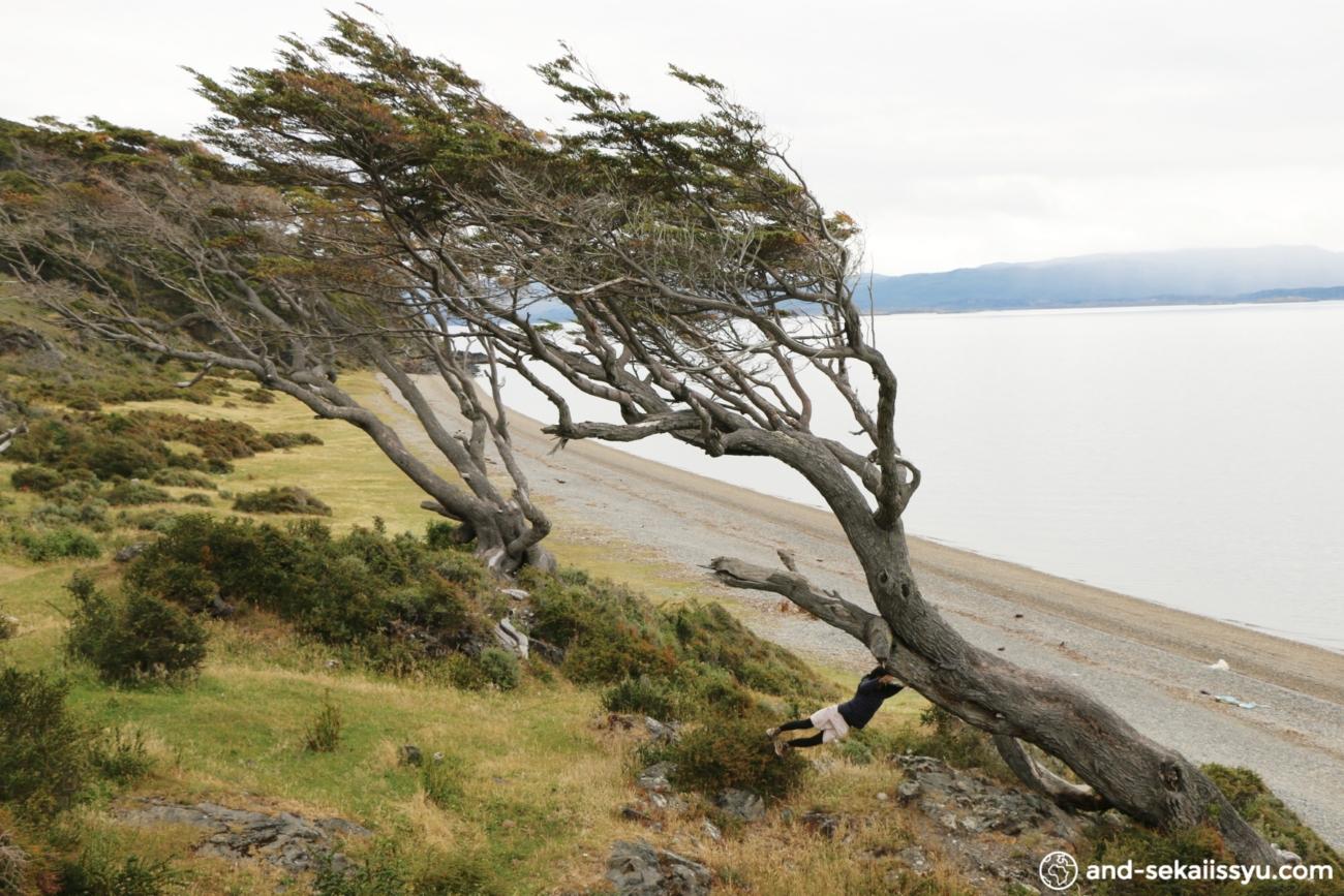 ウシュアイアの斜めの木