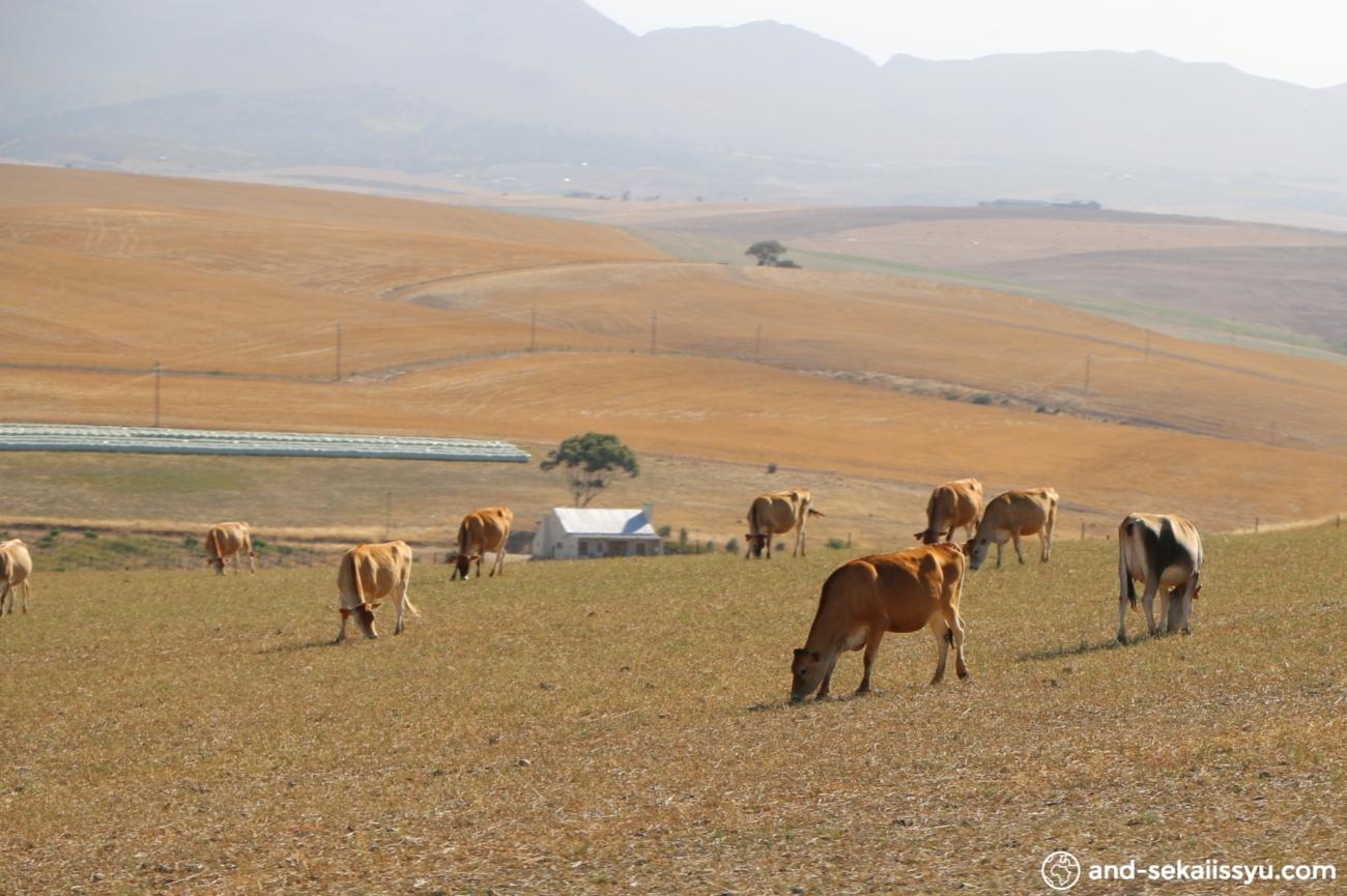 ステレンボッシュの牛