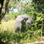 オカバンゴデルタのモコロツアー【2/2】|たった一頭の象に2時間待ちしちゃうの?!