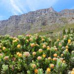 テーブルマウンテンをトレッキング|絶景と花々が彩る登山ルート!!